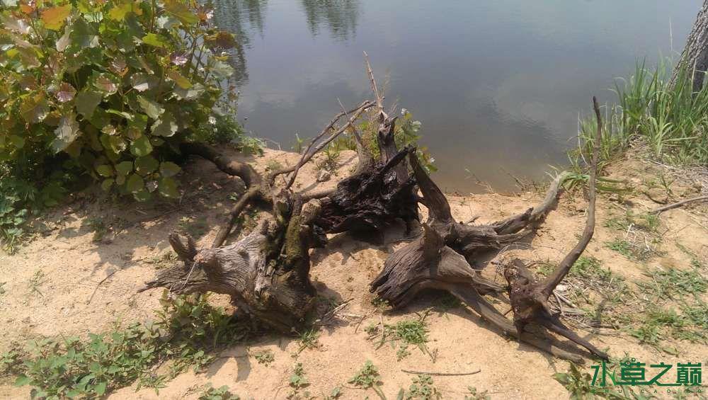 意外的收获捡到大沉木 兰州水族批发市场 兰州龙鱼第1张