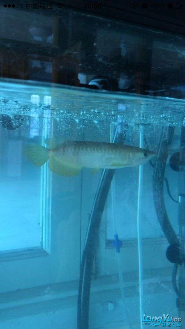 新手帮我看看这鱼怎么样 吉林观赏鱼 吉林龙鱼第2张