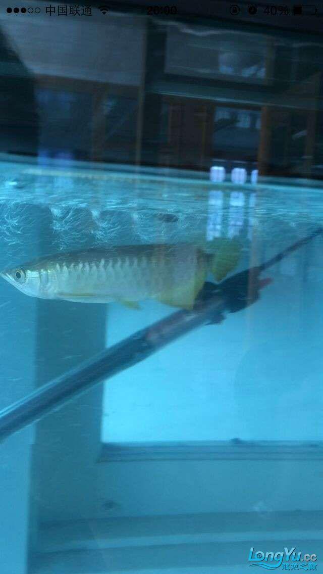 新手帮我看看这鱼怎么样 吉林观赏鱼 吉林龙鱼第3张