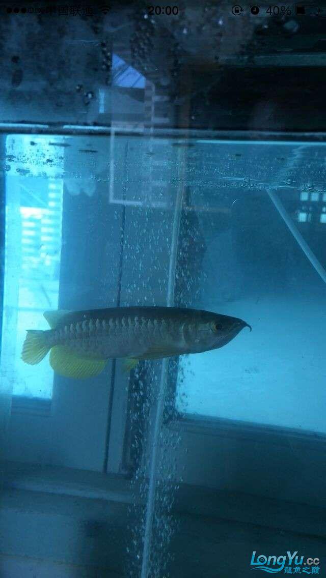 新手帮我看看这鱼怎么样 吉林观赏鱼 吉林龙鱼第4张