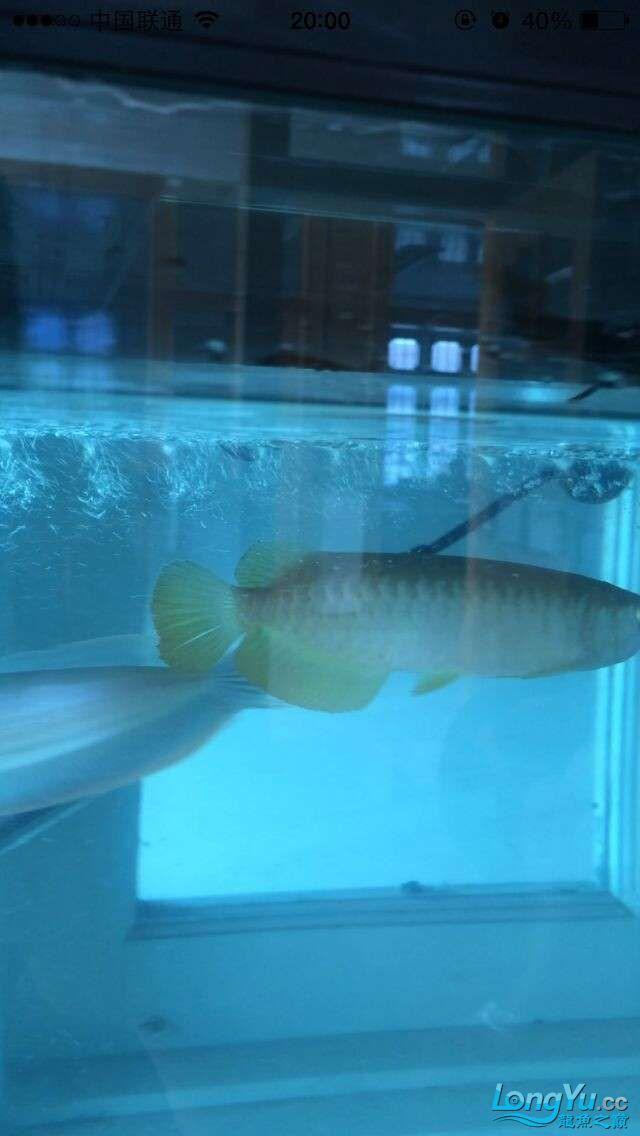 新手帮我看看这鱼怎么样 吉林观赏鱼 吉林龙鱼第5张