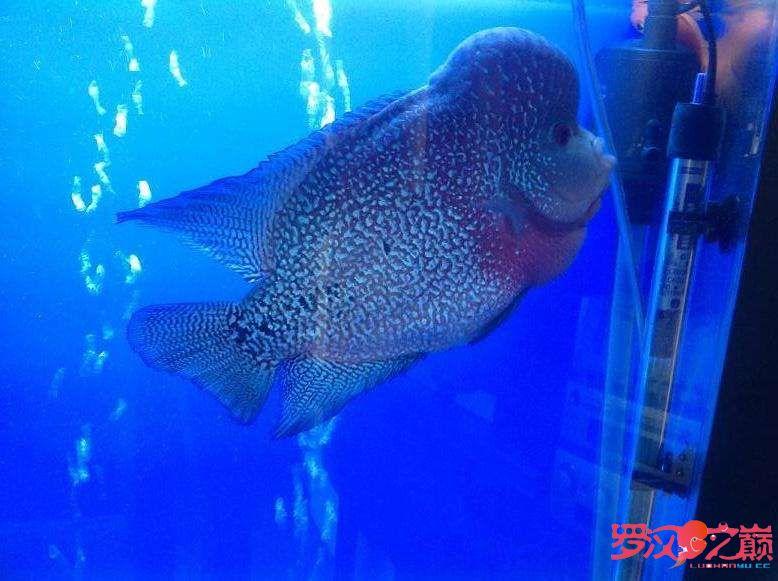 小金马长大了 杭州水族批发市场 杭州龙鱼第5张