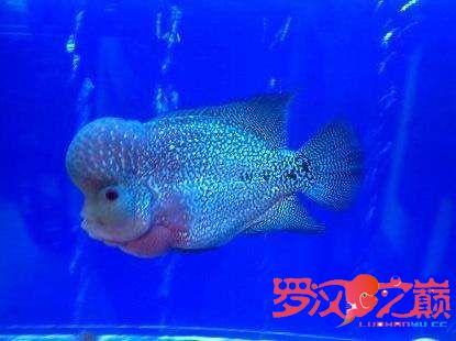 小金马长大了 杭州水族批发市场 杭州龙鱼第4张