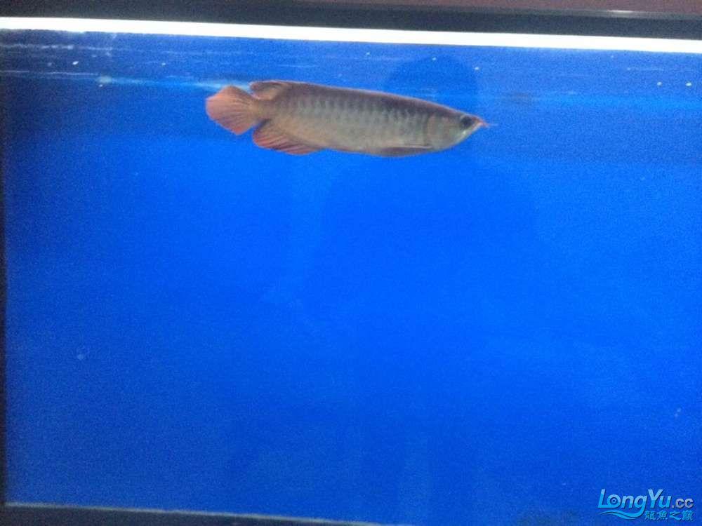 吉林魚缸定做定制紅龍求鑒定! 吉林龍魚論壇 吉林龍魚第10張