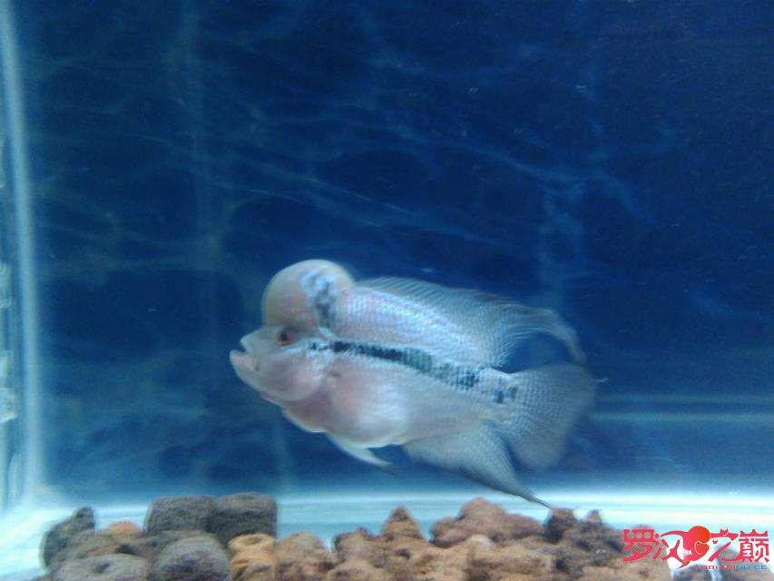 昆明宠物市场大家看看我的鱼压过吗?新手不懂 现在十几厘米 昆明水族批发市场 昆明龙鱼第3张