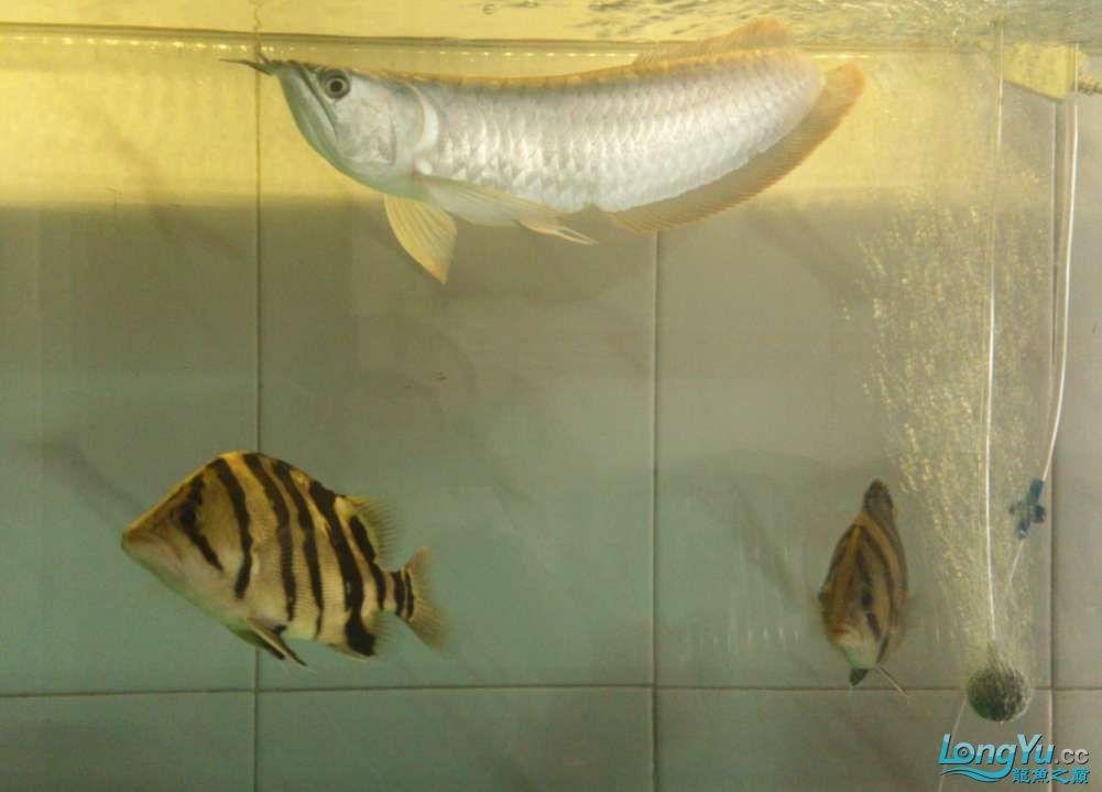 300元买的两只印尼 深圳观赏鱼 深圳龙鱼第1张
