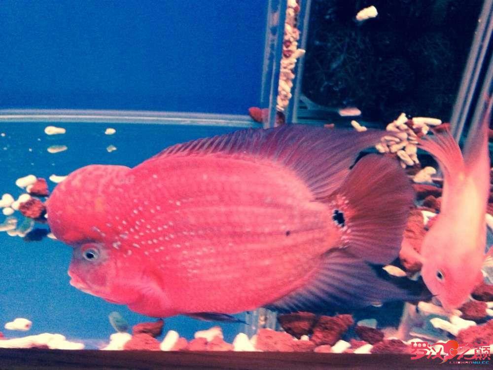 红金花罗汉鱼 都来看看 深圳龙鱼论坛 深圳龙鱼第5张