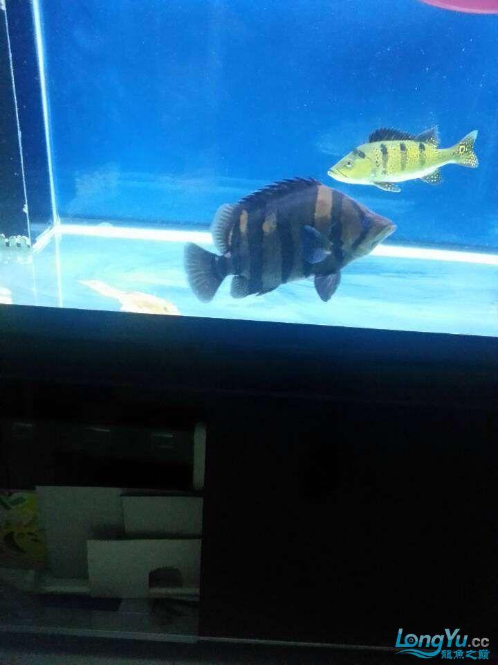 30厘米的4纹虎虎200块钱 西安观赏鱼信息 西安博特第1张