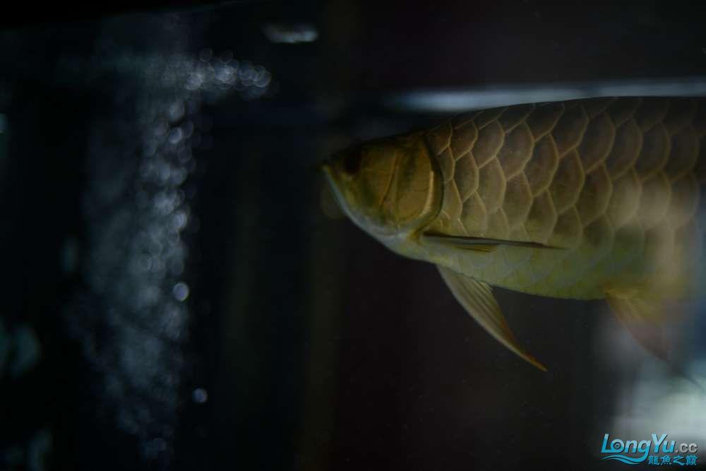 龙拒食十几天今天把吃的都吐了 南京龙鱼论坛 南京龙鱼第5张
