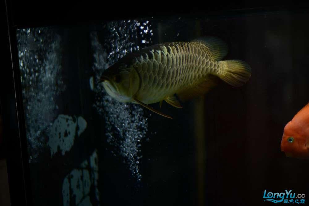 龙拒食十几天今天把吃的都吐了 南京龙鱼论坛 南京龙鱼第6张