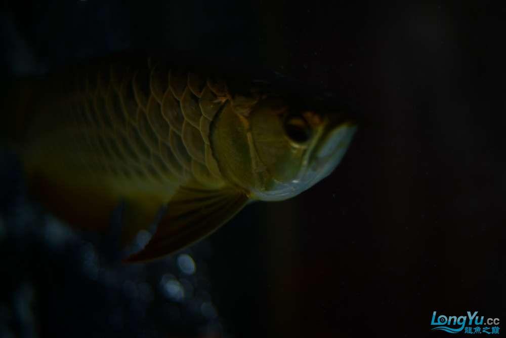龙拒食十几天今天把吃的都吐了 南京龙鱼论坛 南京龙鱼第7张