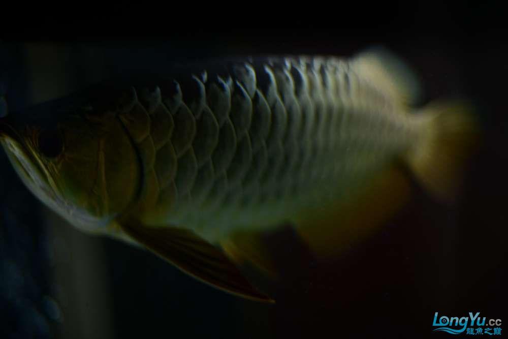 龙拒食十几天今天把吃的都吐了 南京龙鱼论坛 南京龙鱼第9张