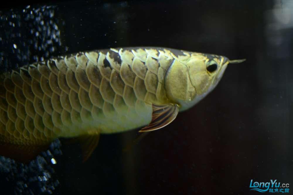 龙拒食十几天今天把吃的都吐了 南京龙鱼论坛 南京龙鱼第10张