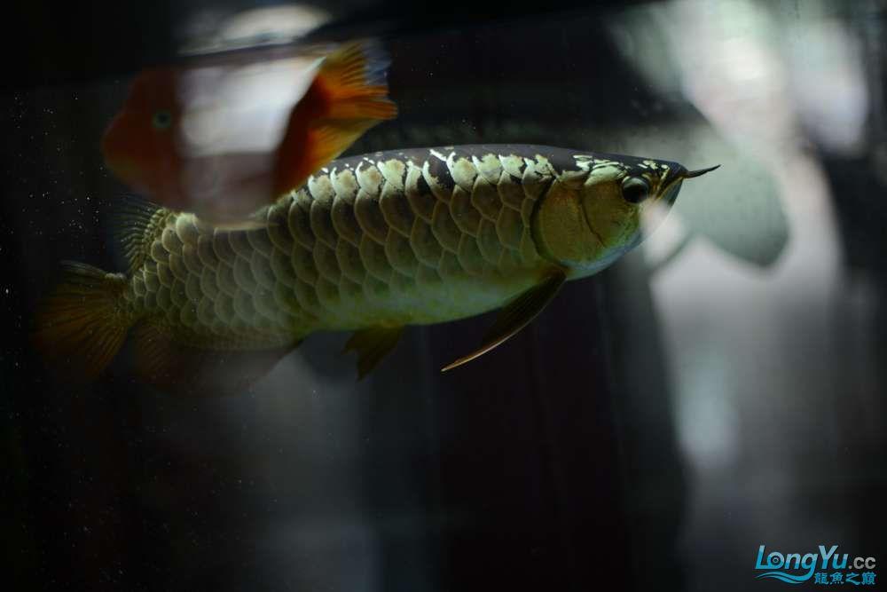 龙拒食十几天今天把吃的都吐了 南京龙鱼论坛 南京龙鱼第12张
