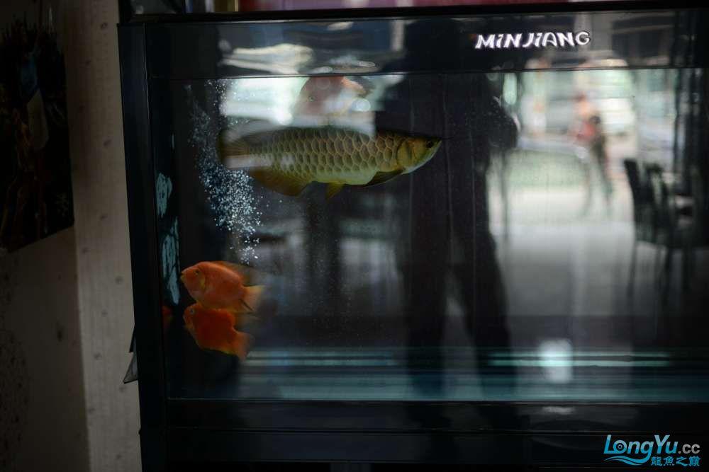 龙拒食十几天今天把吃的都吐了 南京龙鱼论坛 南京龙鱼第13张