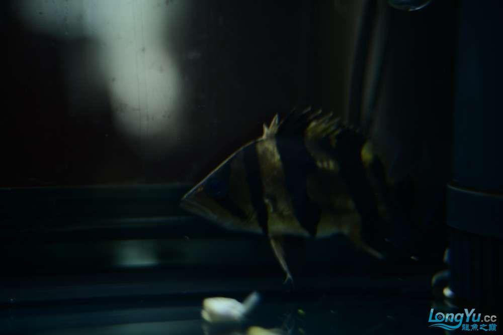龙拒食十几天今天把吃的都吐了 南京龙鱼论坛 南京龙鱼第16张