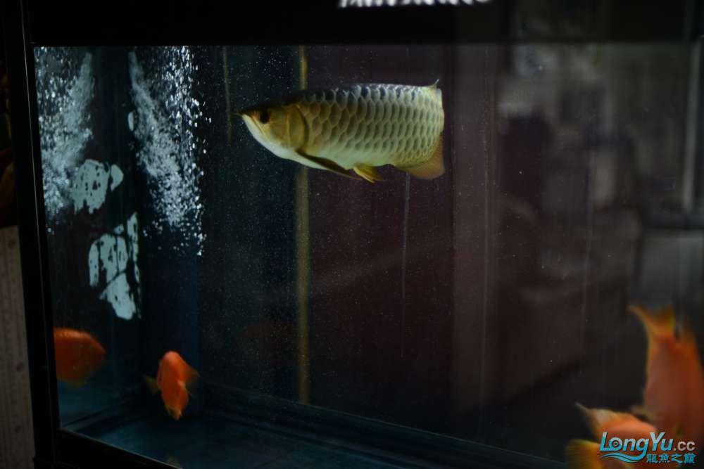 龙拒食十几天今天把吃的都吐了 南京龙鱼论坛 南京龙鱼第18张