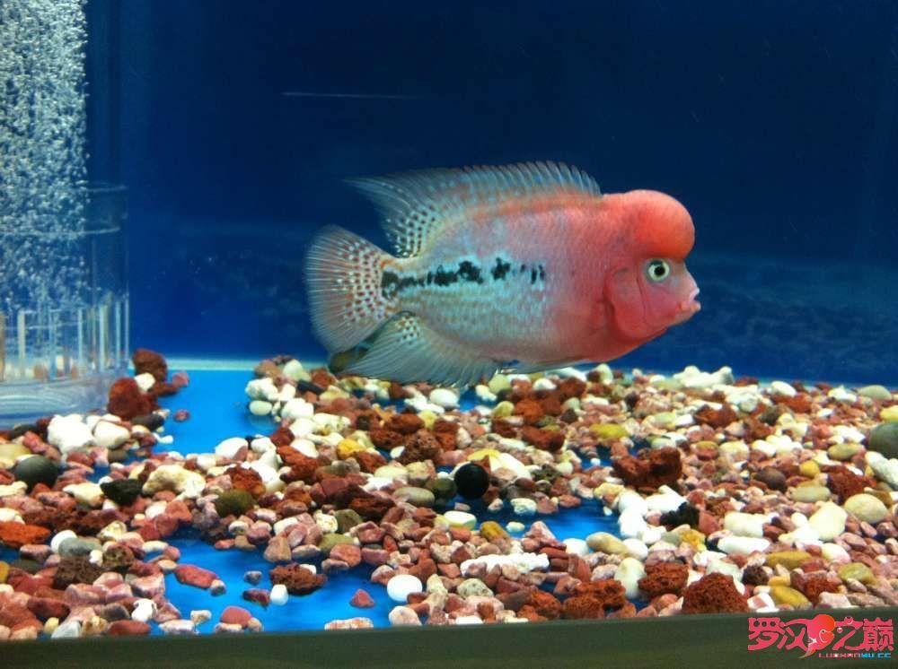 随心秀继续更新我的爱罗 上海水族批发市场 上海龙鱼第1张
