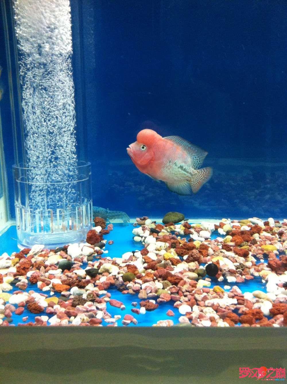 随心秀继续更新我的爱罗 上海水族批发市场 上海龙鱼第3张