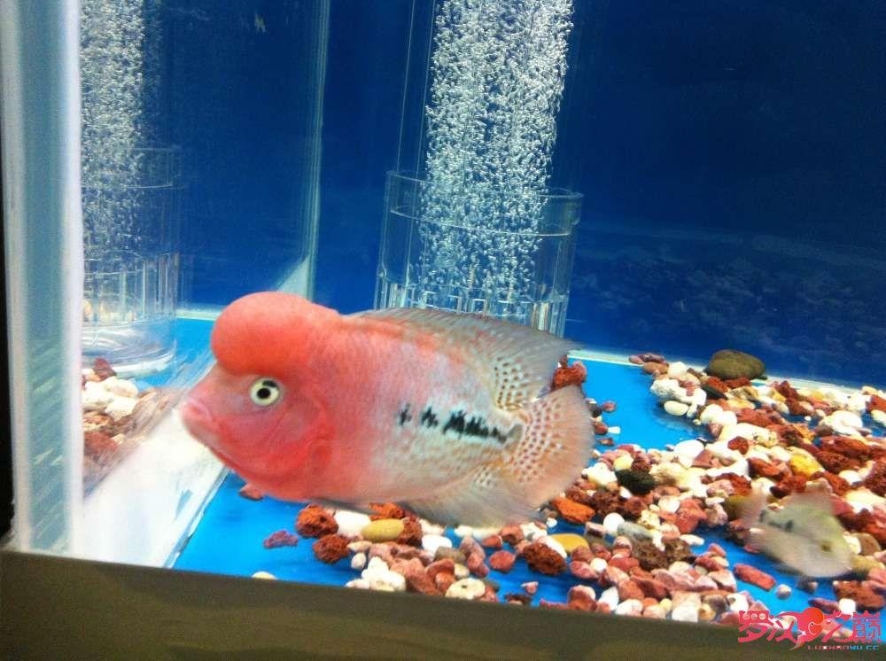 随心秀继续更新我的爱罗 上海水族批发市场 上海龙鱼第4张