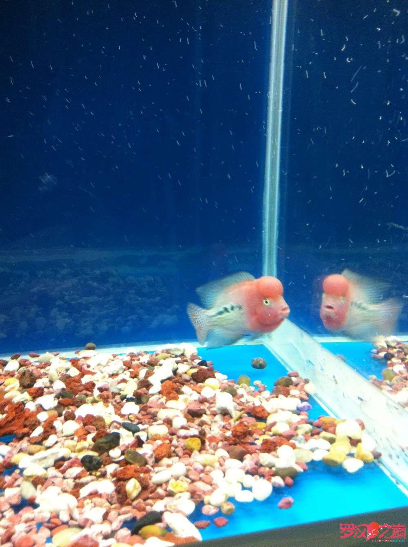 随心秀继续更新我的爱罗 上海水族批发市场 上海龙鱼第5张