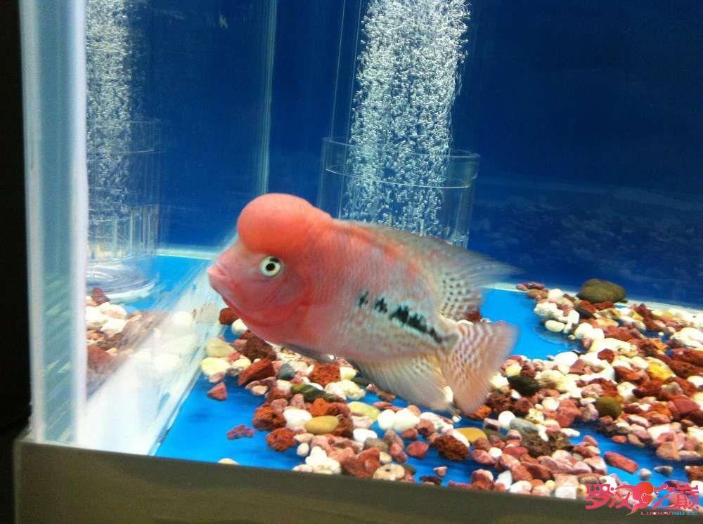 随心秀继续更新我的爱罗 上海水族批发市场 上海龙鱼第6张