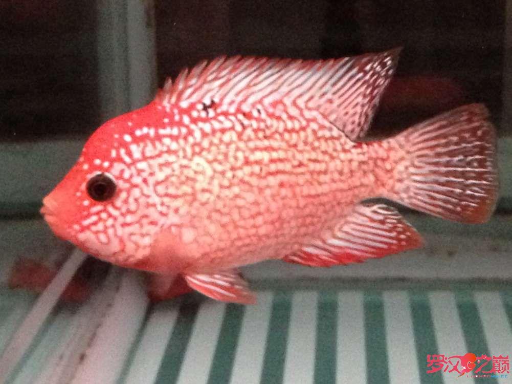 随心秀来秀秀我的小德萨 南充观赏鱼 南充水族批发市场第1张