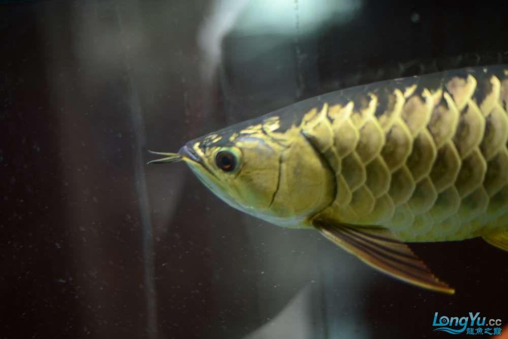 龙拒食十几天今天把吃的都吐了 南京龙鱼论坛 南京龙鱼第23张