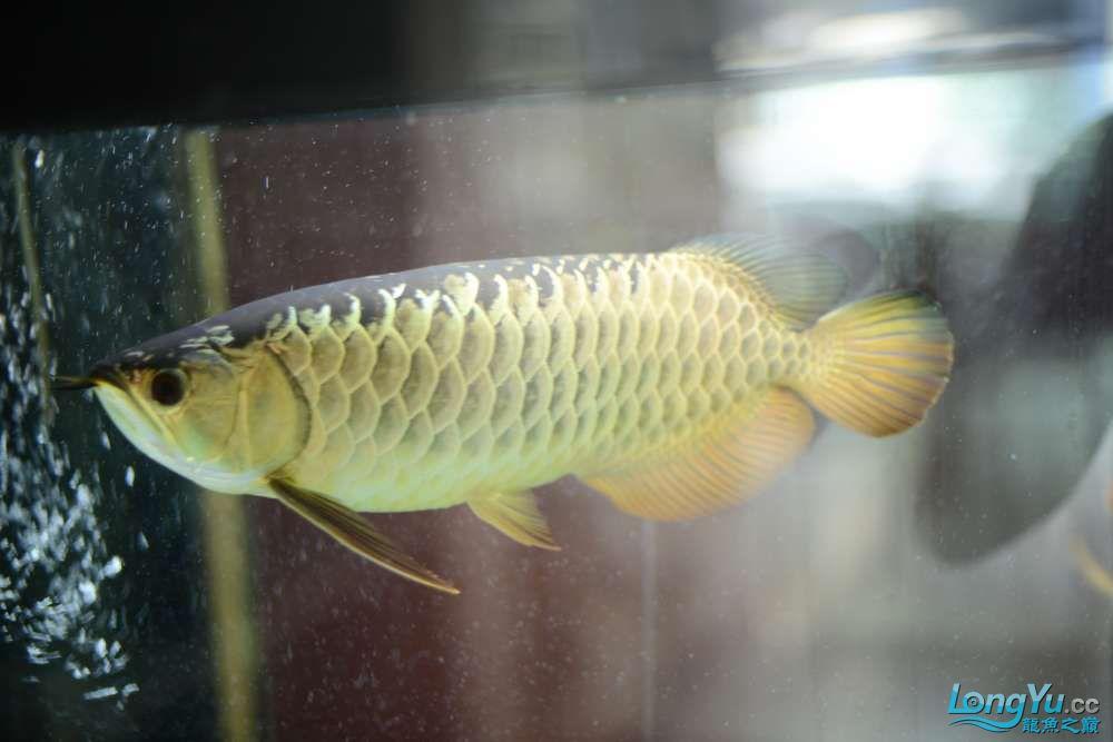 龙拒食十几天今天把吃的都吐了 南京龙鱼论坛 南京龙鱼第24张