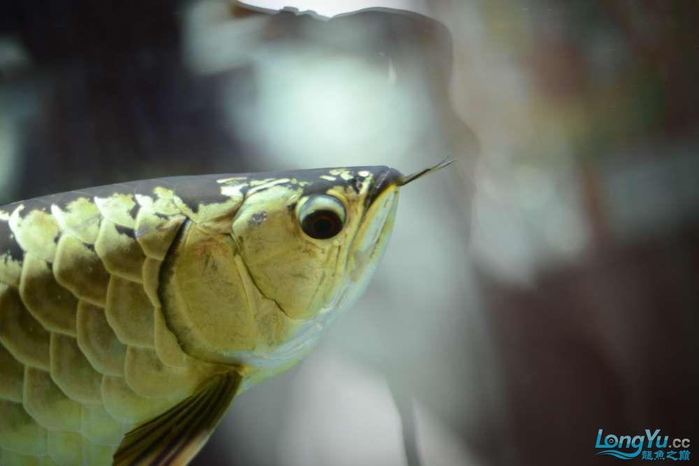龙拒食十几天今天把吃的都吐了 南京龙鱼论坛 南京龙鱼第26张