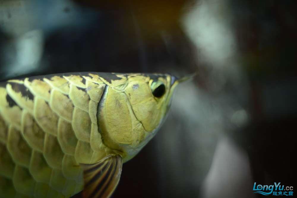 龙拒食十几天今天把吃的都吐了 南京龙鱼论坛 南京龙鱼第27张