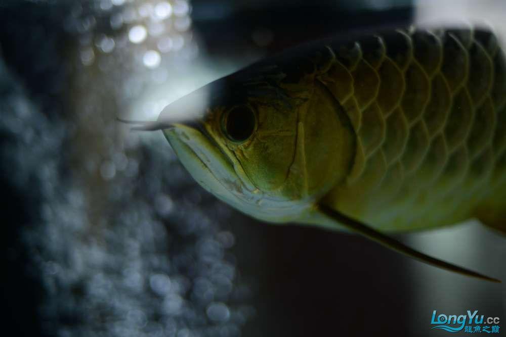 龙拒食十几天今天把吃的都吐了 南京龙鱼论坛 南京龙鱼第28张