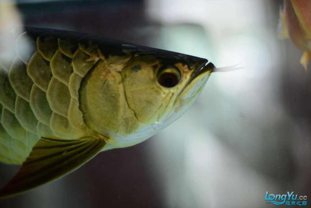 龙拒食十几天今天把吃的都吐了 南京龙鱼论坛 南京龙鱼第29张