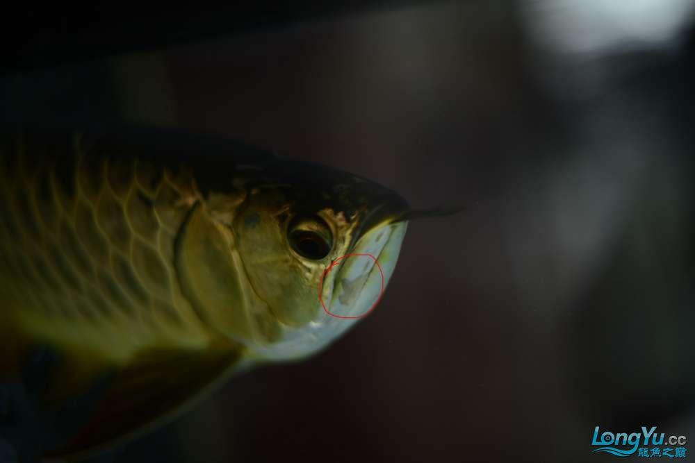 龙拒食十几天今天把吃的都吐了 南京龙鱼论坛 南京龙鱼第20张