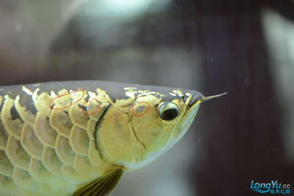 龙拒食十几天今天把吃的都吐了 南京龙鱼论坛 南京龙鱼第21张