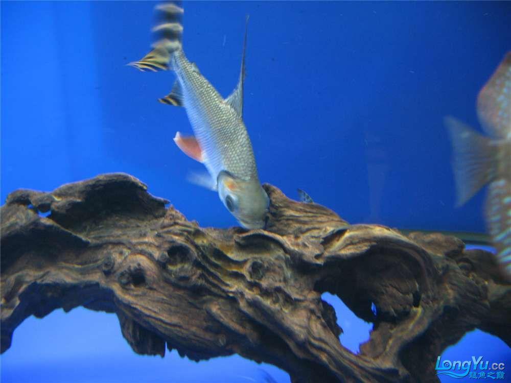 地中海的家配地中海的缸 吉林龙鱼论坛 吉林龙鱼第12张