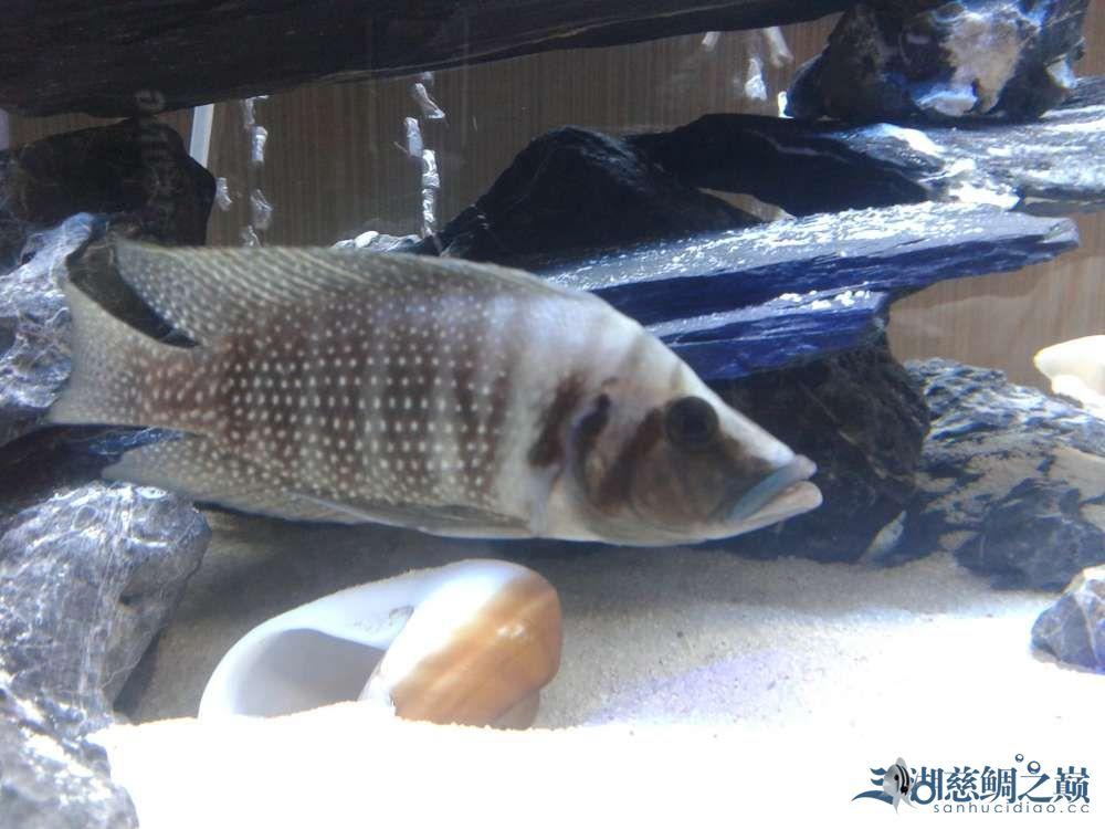 三个月的跳湖直接上图各位湖友望提出意见 郑州水族批发市场 郑州龙鱼第17张
