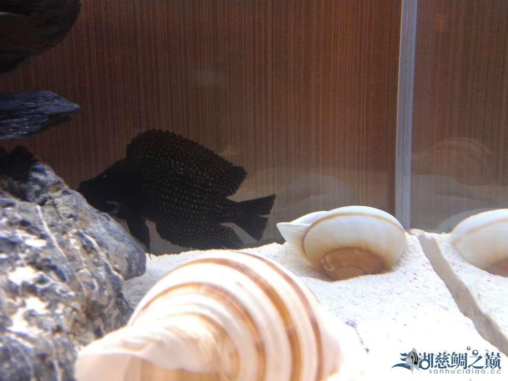 三个月的跳湖直接上图各位湖友望提出意见 郑州水族批发市场 郑州龙鱼第10张
