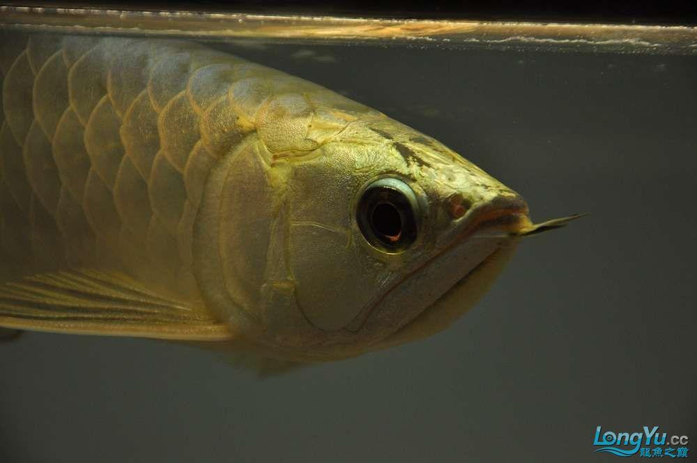 金龙鱼到家两个月 郑州水族批发市场 郑州龙鱼第1张