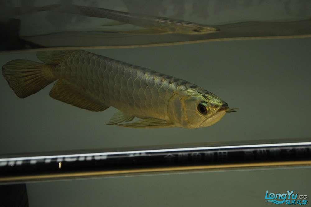 金龙鱼到家两个月 郑州水族批发市场 郑州龙鱼第2张