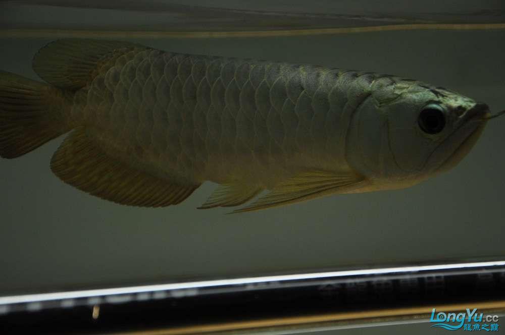 金龙鱼到家两个月 郑州水族批发市场 郑州龙鱼第6张
