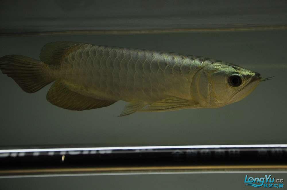 金龙鱼到家两个月 郑州水族批发市场 郑州龙鱼第10张