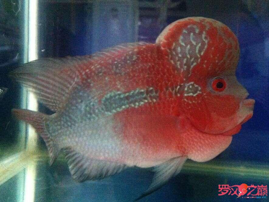 求高手指教看看我的小罗是怎么了 天津观赏鱼 天津龙鱼第2张