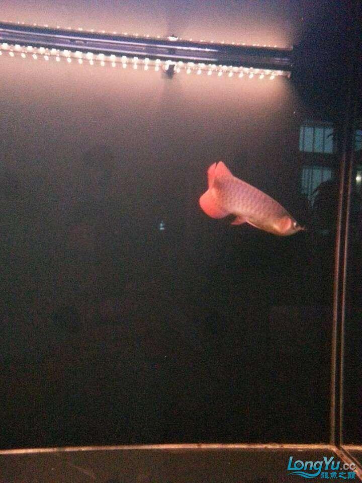 请各位大神看看这鱼有前途吗(新手) 太原观赏鱼 太原龙鱼第8张