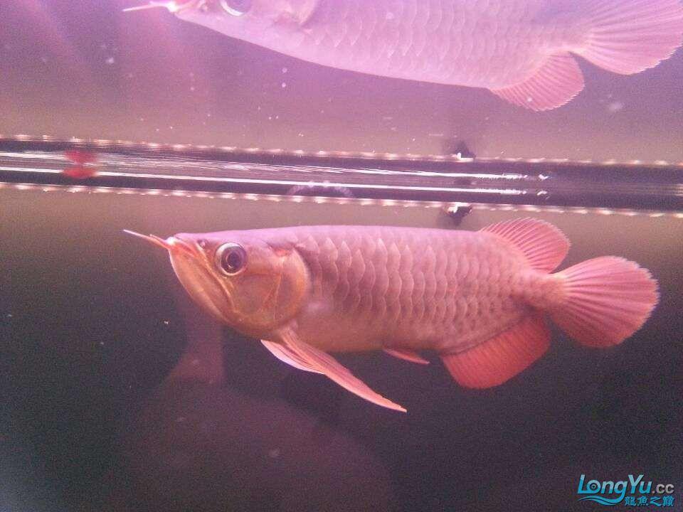 请各位大神看看这鱼有前途吗(新手) 太原观赏鱼 太原龙鱼第7张