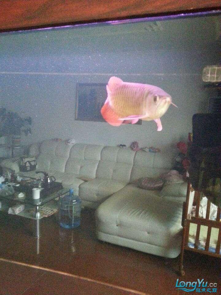请各位大神看看这鱼有前途吗(新手) 太原观赏鱼 太原龙鱼第4张