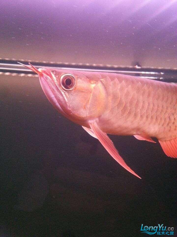 请各位大神看看这鱼有前途吗(新手) 太原观赏鱼 太原龙鱼第2张