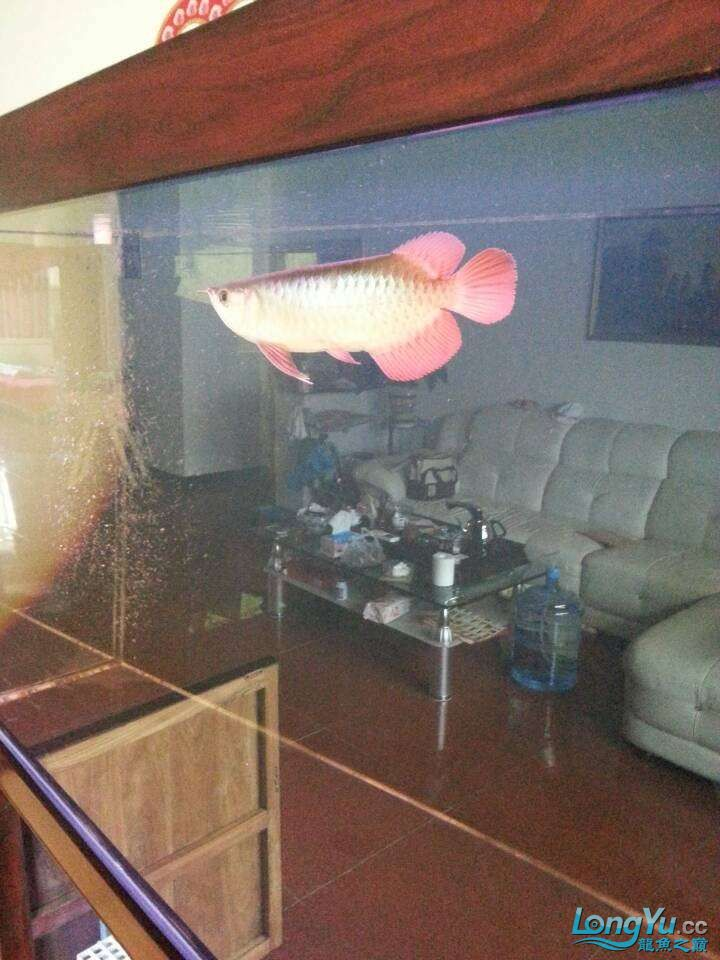 请各位大神看看这鱼有前途吗(新手) 太原观赏鱼 太原龙鱼第1张