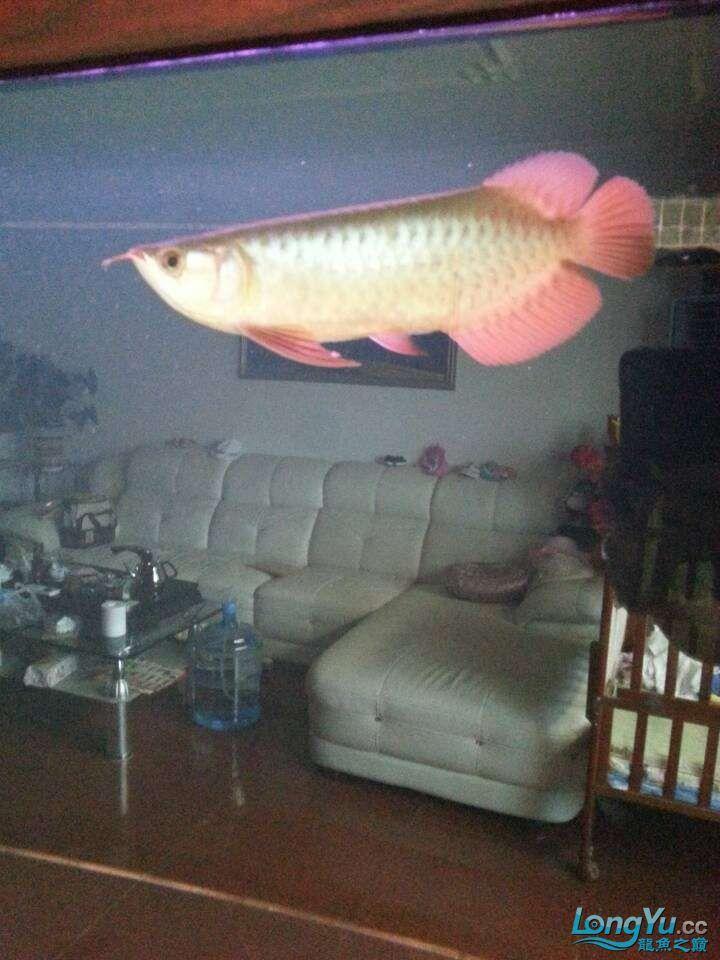 请各位大神看看这鱼有前途吗(新手) 太原观赏鱼 太原龙鱼第13张
