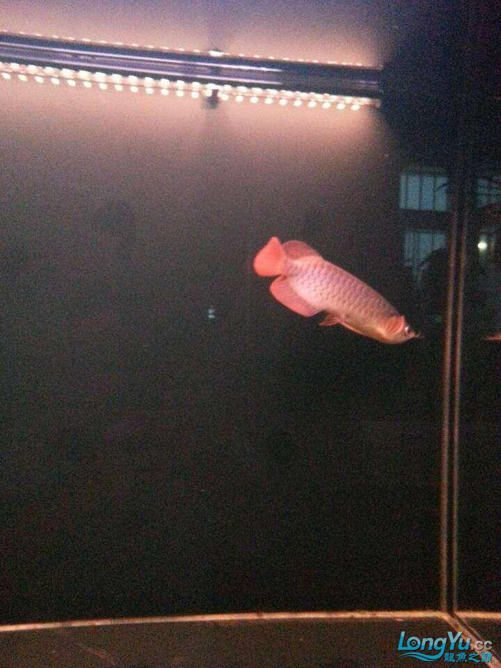 请各位大神看看这鱼有前途吗(新手) 太原观赏鱼 太原龙鱼第11张